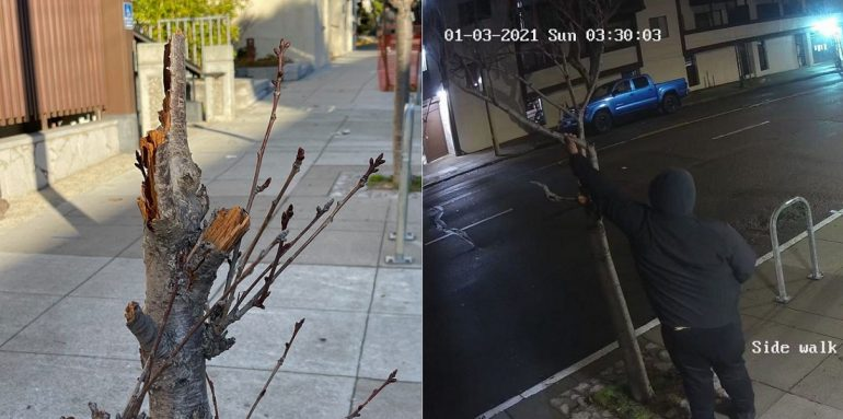 Vandals Hack Down Historic Cherry Blossom Trees In Sf Japantown Asian Dawn